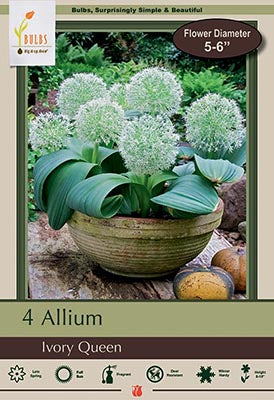 Allium Ivory Queen