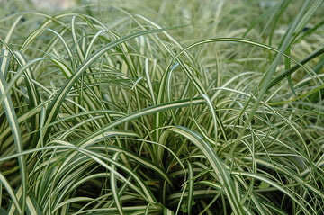 Evergold Variegated Japanese Sedge