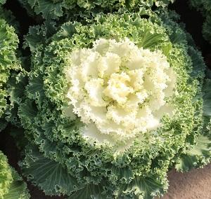 Flowering Kale - Nagoya White