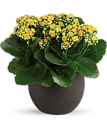 Teleflora's Forever Yellow Kalanchoes