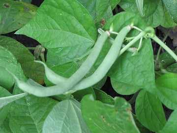 Tendergreen Improved Bush Bean