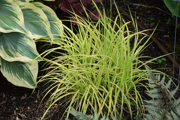 Bowles Golden Sedge