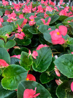 Dragon Wing Begonia Hanging Basket