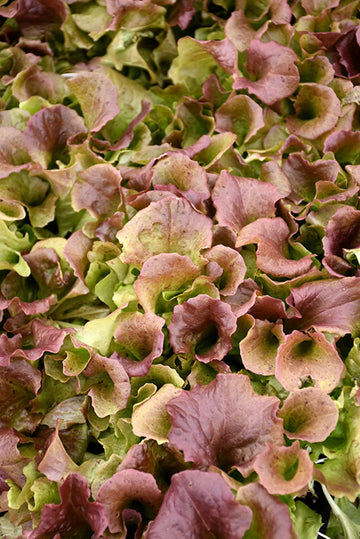 Lettuce 'Red Sails'