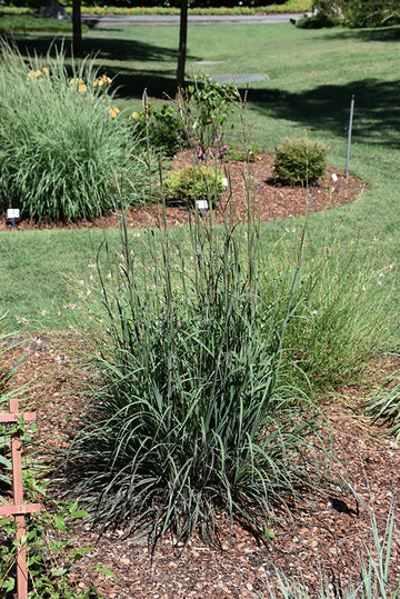 Bluestem 'Blackhawks'