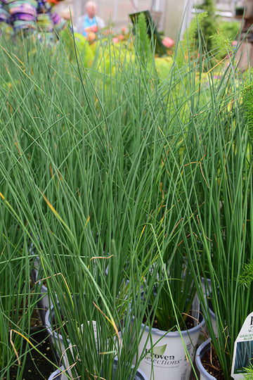 Grasses & Sedges