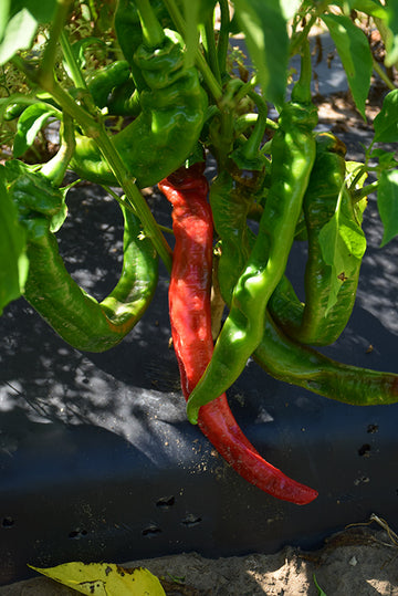 Pepper 'Long Thin Cayenne'