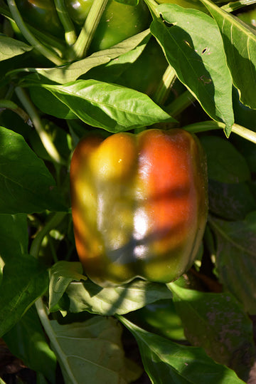 Pepper 'Chocolate Bell'