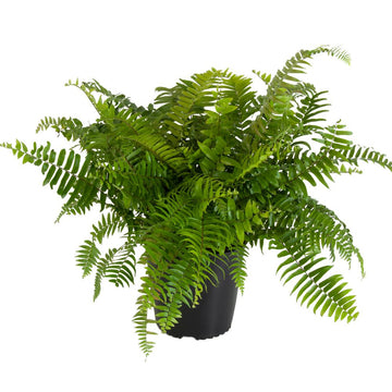 Macho Giant Sword Fern