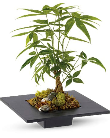 Money Tree Plant by Teleflora