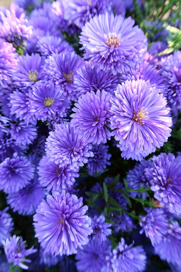 Aster (Fall)