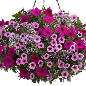 Hanging Basket: Boost of Energy 10""