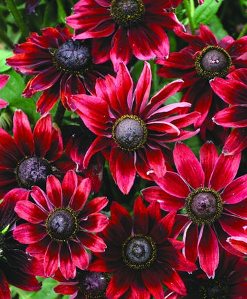 Rudbeckia Black-Eyed Susan Cherry Brandy