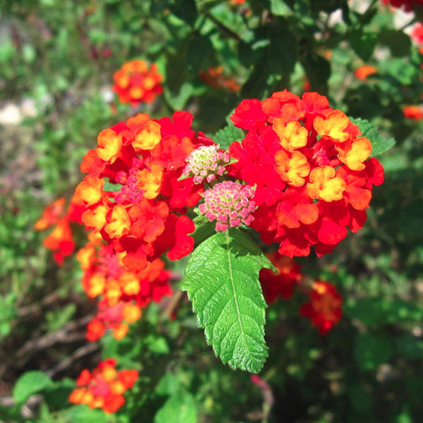 Hanging Basket: Red Lantana