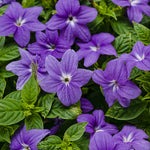 Browallia: Bush Violet
