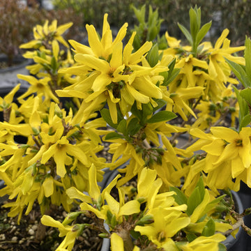 Forsythia - Show Off Sugar Baby