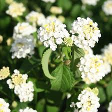 Hanging Basket: White Lantana