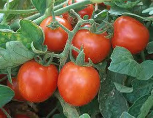 Tomato: Red Cherry Large