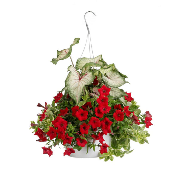 Hanging Basket: Embolden #713