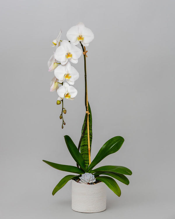 Orchid - White