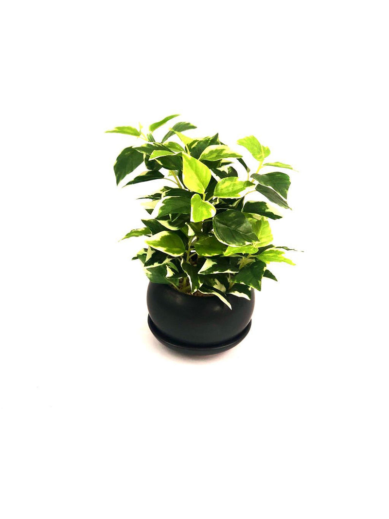 Golden Pothos Indoor Plants Premium Modern Ceramic Pot By Tamrapatra