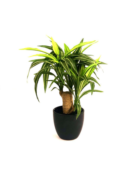 Yucca Plant For Indoor Excellent Addition To Lovely Homes Tamrapatra