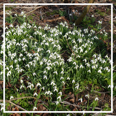 Snowdrop Bulb Box - One-Off
