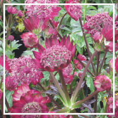 Astrantia major 'Gill Richardson Gp'