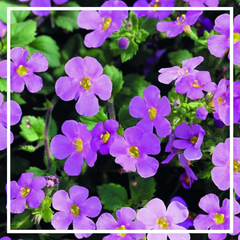 Bacopa 'Bright Pink'