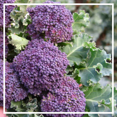 Broccoli 'Summer purple'