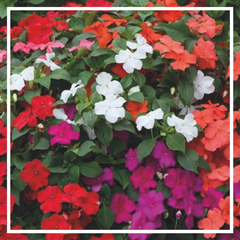Busy Lizzies - Impatiens 'Mixed' (6 Pack)