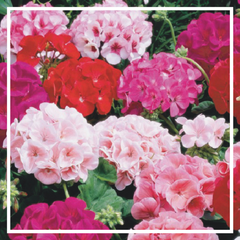 Geranium 'Mixed' (4 Pack)