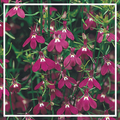 Lobelia bush 'Purple' (6 Pack)