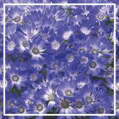 Pericallis senetti 'Blue'