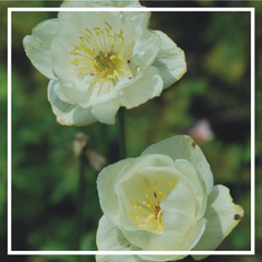 Trollius x. cultorum 'New Moon'
