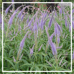 Veronicastrum v. 'Temptation'