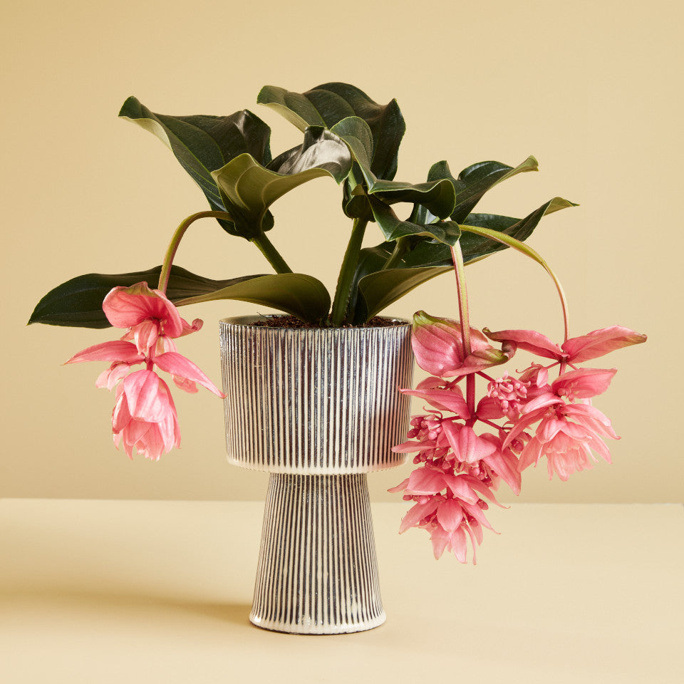 Pedestal palnt pot with black and white pinstripe glaze, large, styled with a pink flowering plant..