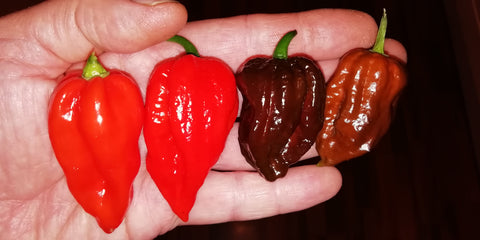 Some top quality superhot gourmet chilli peppers grown by Professor Pods