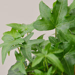 English Ivy 'Green California' Plant