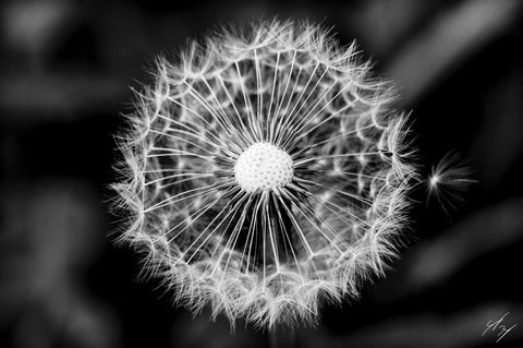 dandelion limited edition print