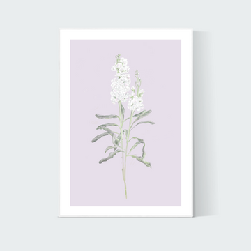 Lilac Stock Flower - Art Print