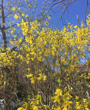 Load image into Gallery viewer, Ontario Forsythia Tincture Limited Edition