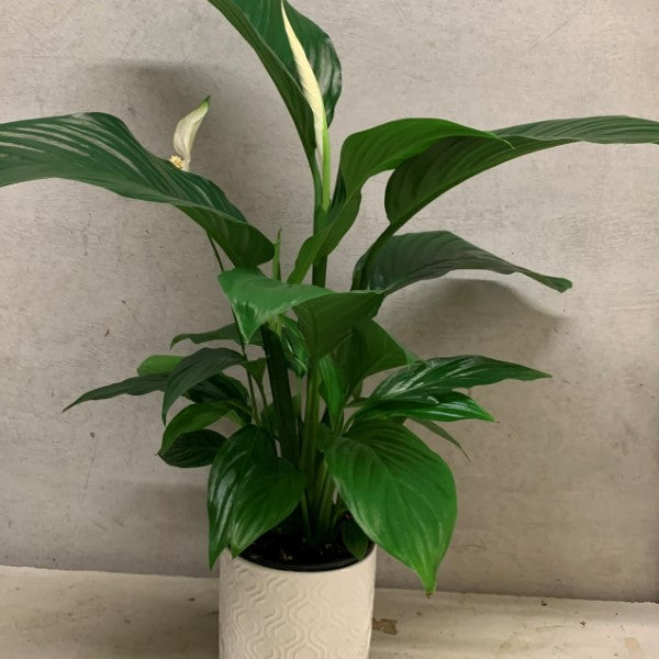 Plant- Peace Lily