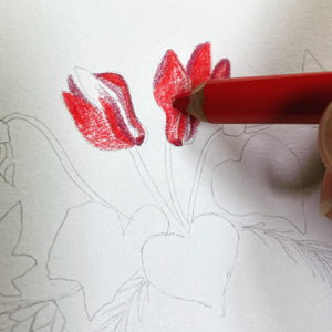 Winter art set polychromos pencils drawing red cyclamen.
