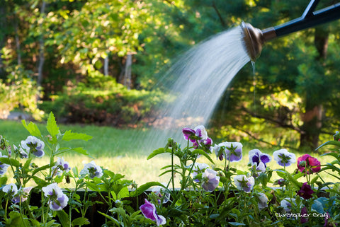 watering a garden with a water can