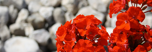 red flower on stone background