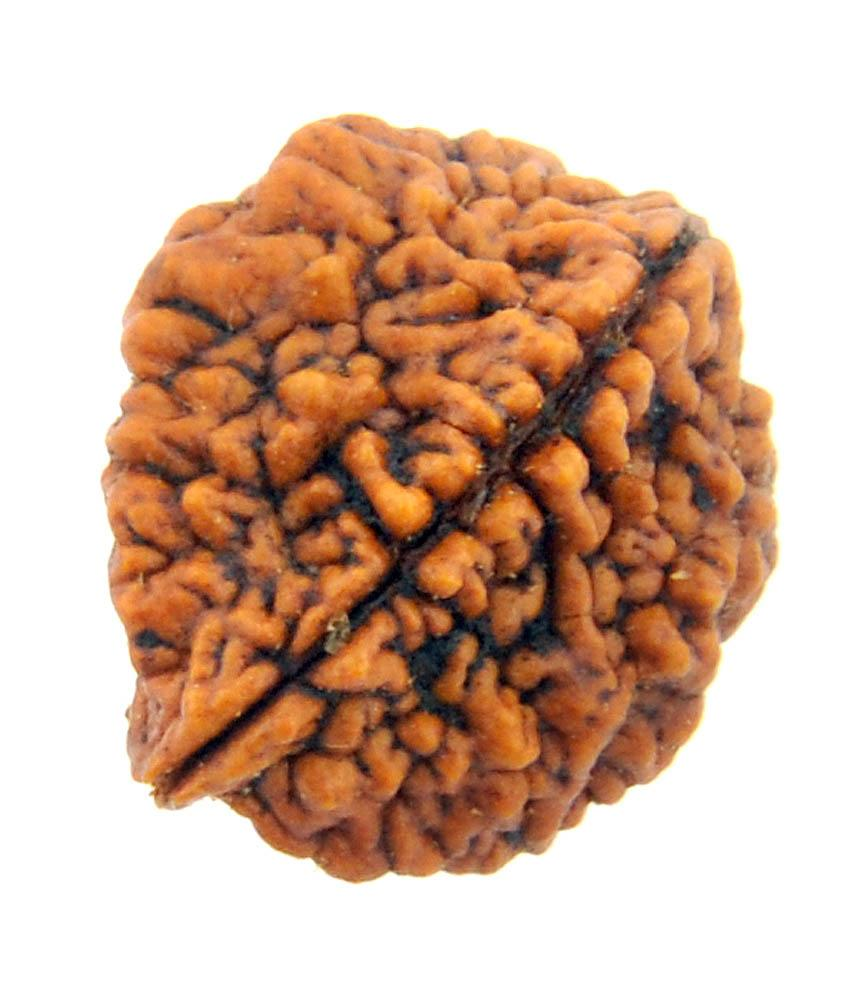 Original Two Faced ( Do Mukhi) Natural Rudraksha Bead for Men and Women - halfrate.in
