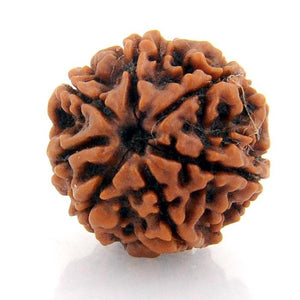Seven Faced 7 face (Saat Mukhi) Natural Rudraksha Bead for Men and Women - halfrate.in