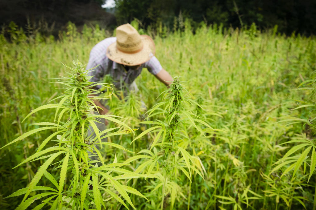 THE IMPORTANCE OF HEMP