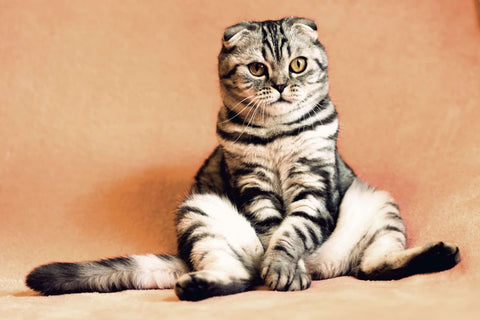 Cat Stress Symptoms And Relief Image 2